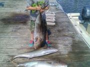T-Time Charters, Amberjacks are chewing!